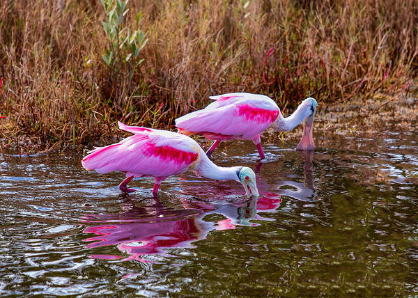 Roseate Spoonbills Swishing For Food Poster