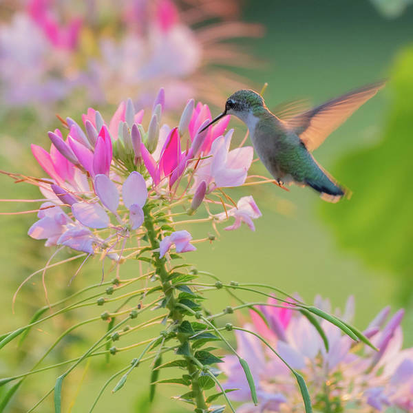 Ruby Throated Hummingbird 3 Square Poster