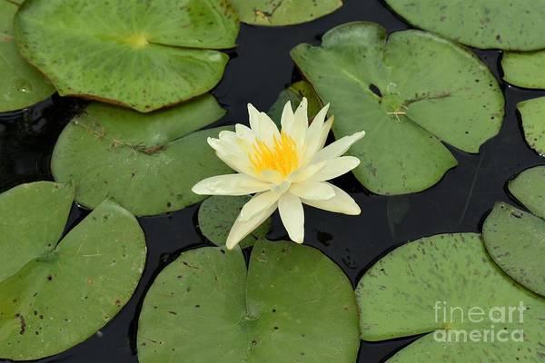 Sacred Lotus Poster