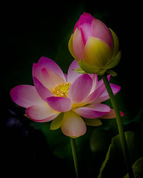 Sacred Water Lily 4 Poster