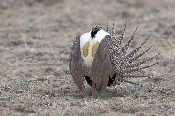 Sage Grouse Poster