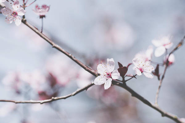 Sakura #189 Poster