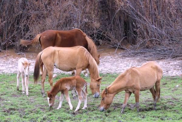 Salt River Wild Horses In Winter Poster