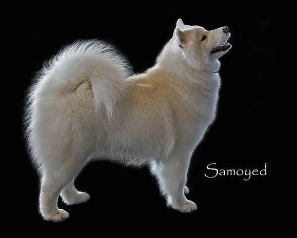 Samoyed Poster