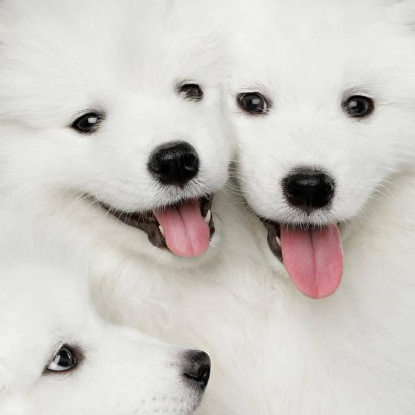 Samoyed Puppies Poster