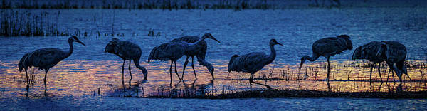 Sandhill Cranes At Twilight Poster