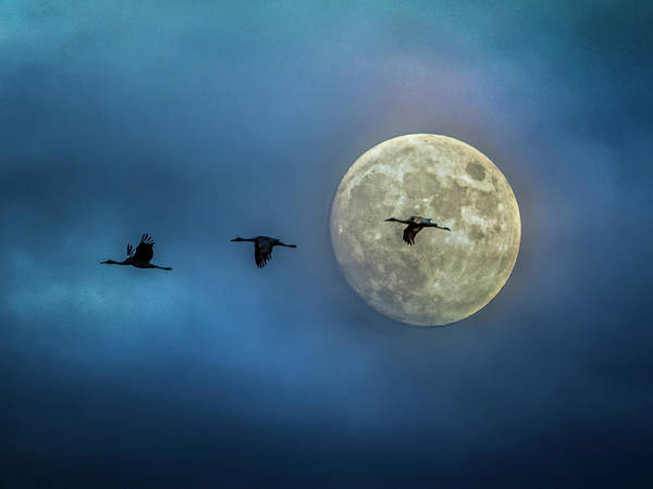 Sandhill Cranes With Full Moon Poster