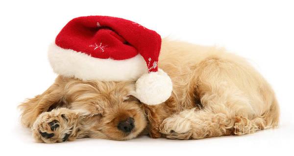 Santa's Sleepy Spaniel Poster