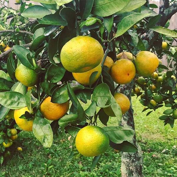 Satsumas..we Wait All Year For These Poster