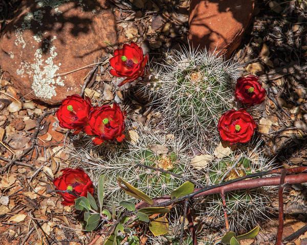 Scarlet Cactus Blooms Poster