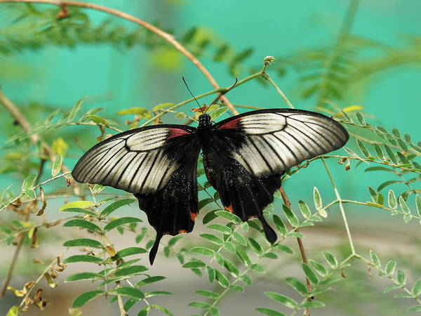 Poster featuring the photograph Scarlet Swallowtail Butterfly -2 by Paul Gulliver