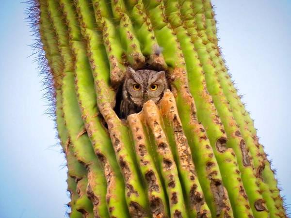 Screech Owl In Saguaro Poster