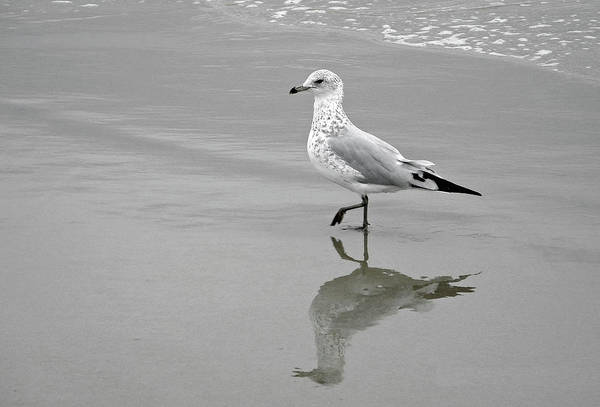 Poster featuring the photograph Sea Gull Walking In Surf by Wayne Marshall Chase