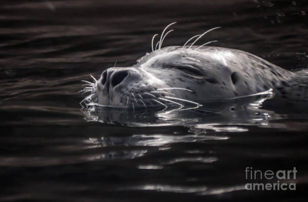 Sea Lion Basking In The Light Poster
