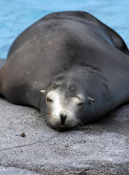 Sea Lion Snooze Poster