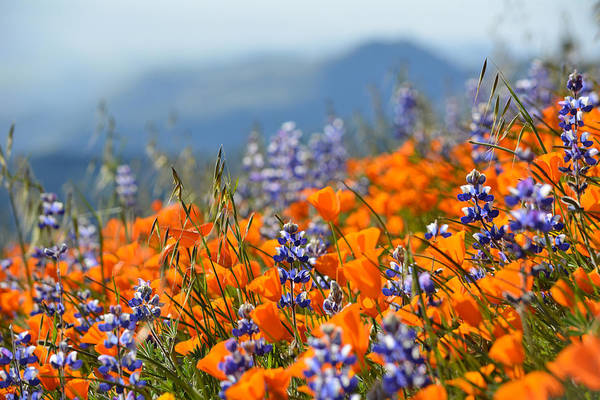 Sea Of California Wildflowers Poster
