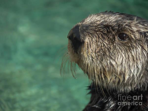 Sea Otter Stare Down Poster