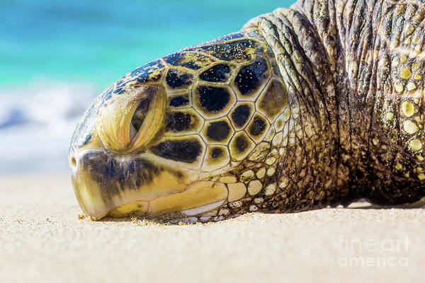 Sea Turtle Resting At The Beach Poster