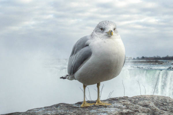Poster featuring the photograph Seagull Model by Garvin Hunter