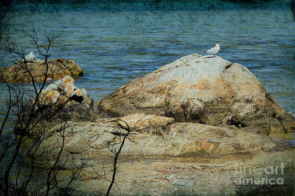 Seagull On A Rock Poster