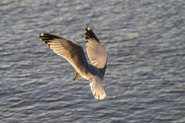 Seagull Over Cape Fear River Poster