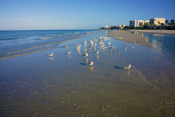 Seagulls And Terns On The Beach In Naples, Fl Poster