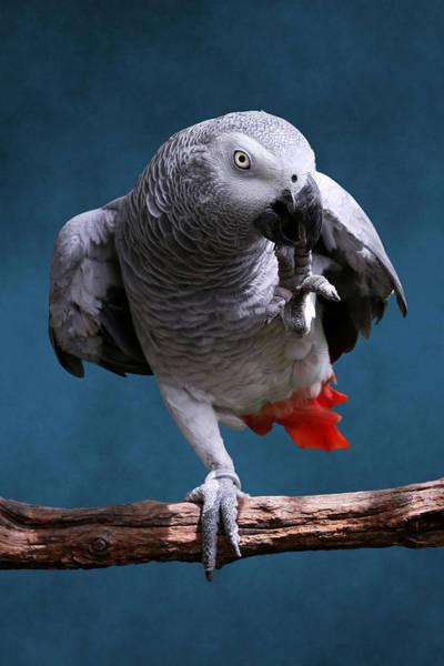 Secretive Gray Parrot Poster