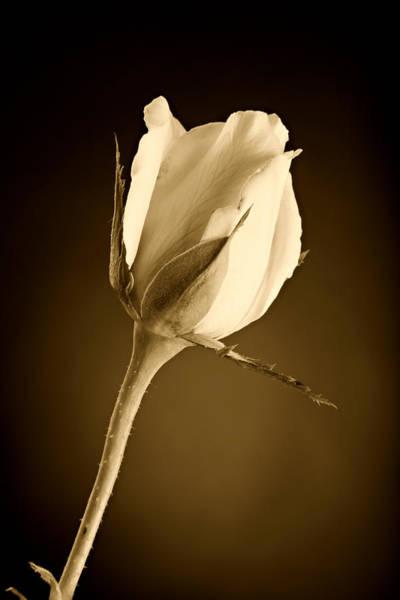 Sepia Rose Bud Poster