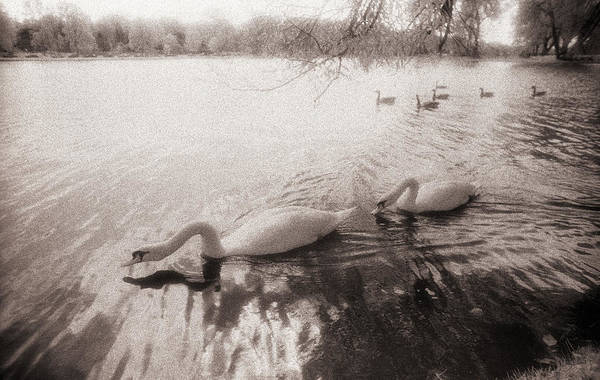 Sepia Swans Poster