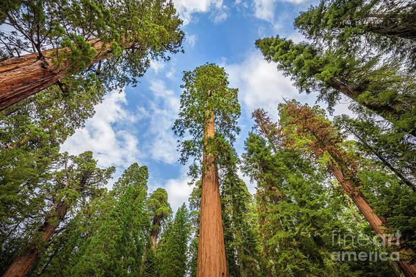 Sequoias Everywhere Poster