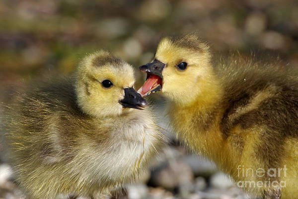 Sibling Love - Baby Canada Geese Poster