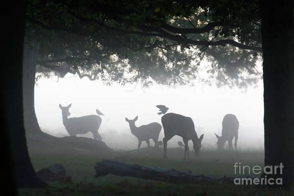 Silhouette Of Red Deer - Cervus Elaphus -  Hinds Or Females Grazin Poster