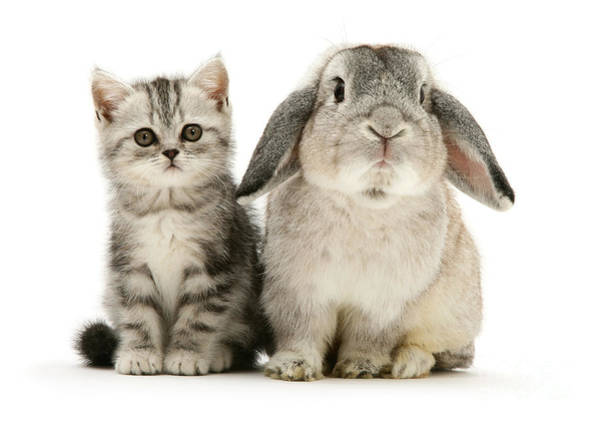 Silver Tabby And Rabby Poster