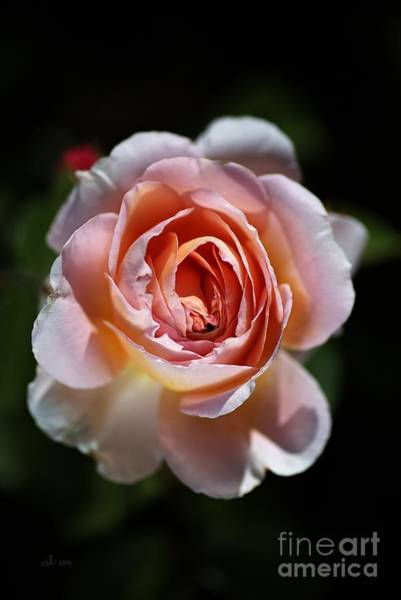 Single Romantic Rose  Poster