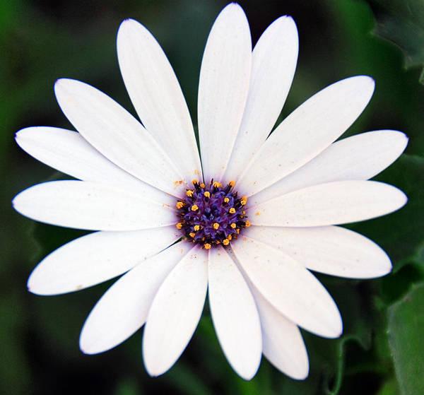 Single White Daisy Macro Poster