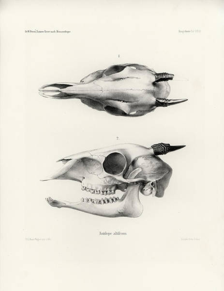Poster featuring the drawing Skull Of A Bush Duiker, Sylvicapra Grimmia by J D L Franz Wagner