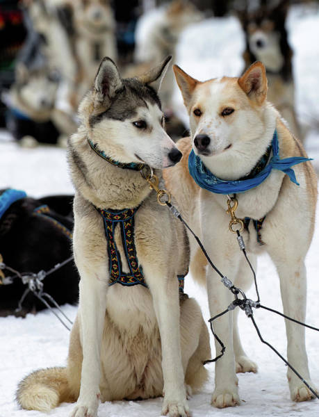 Poster featuring the photograph Sled Dogs by David Buhler