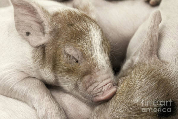 Sleeping Piglet Poster