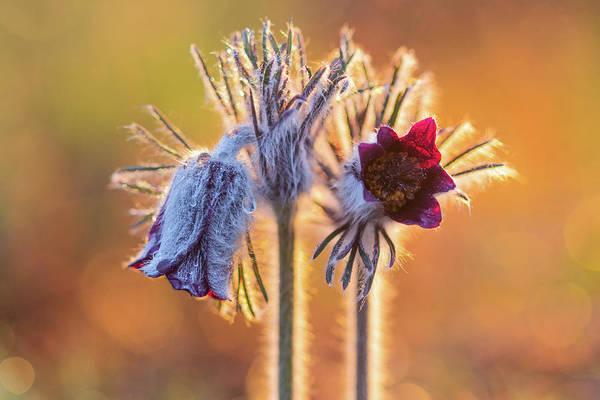 Small Pasque Flower, Pulsatilla Pratensis Nigricans Poster
