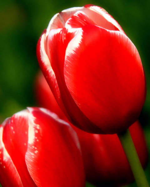 Snow Capped Tulips Poster