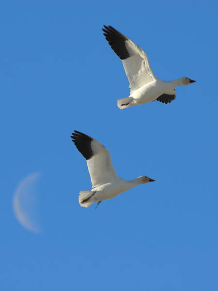 Snow Geese Moon Poster