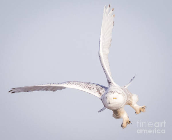 Snowy Owl Flying Dirty Poster