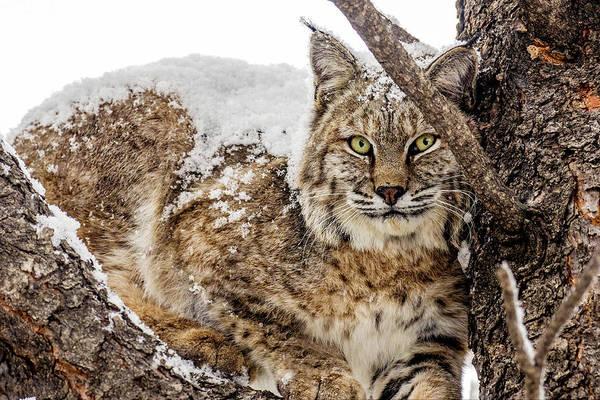 Snowy Bobcat Poster