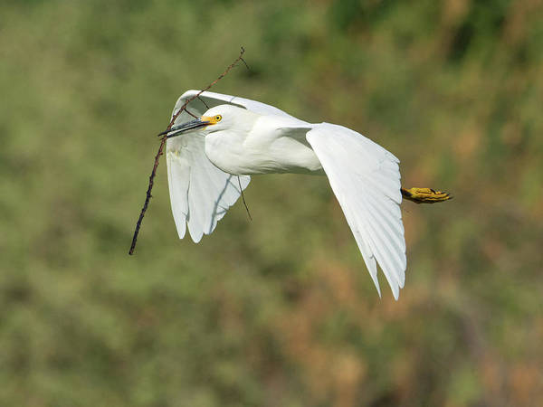 Snowy Egret 4786-091017-1cr Poster