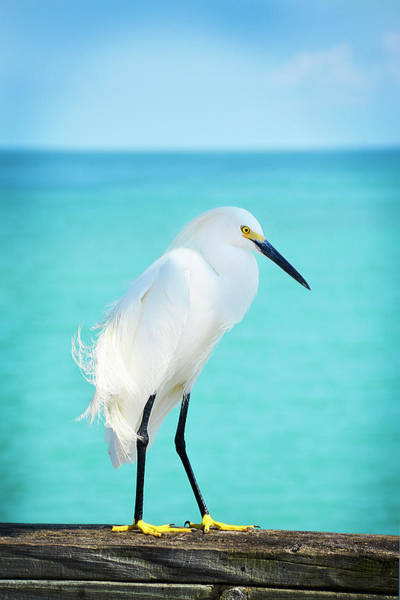 Poster featuring the photograph Snowy Egret by Jennifer Wright