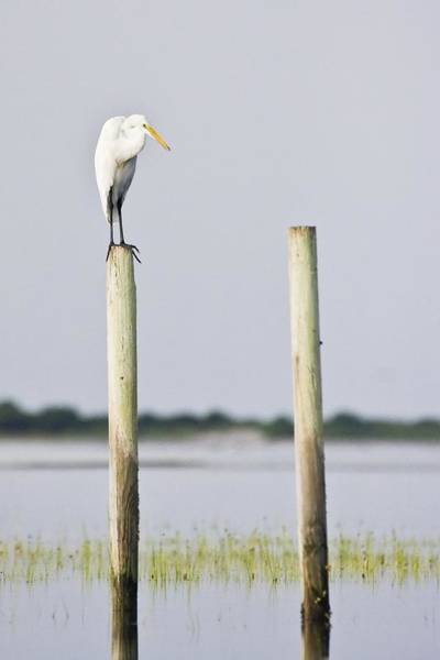 Snowy Egret On Pilings Poster
