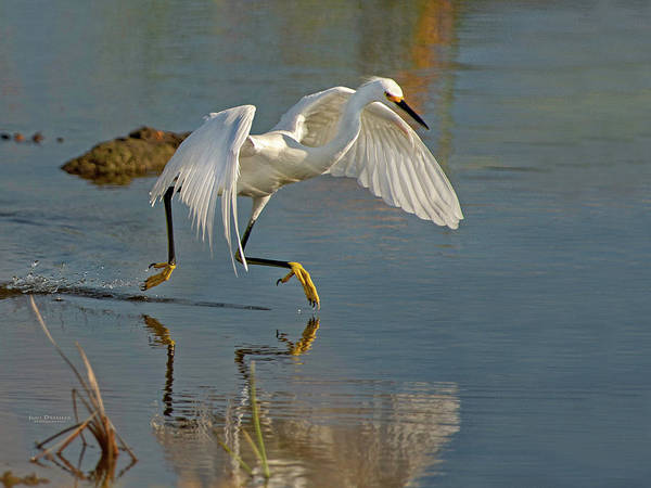 Snowy Egret On The Move Poster
