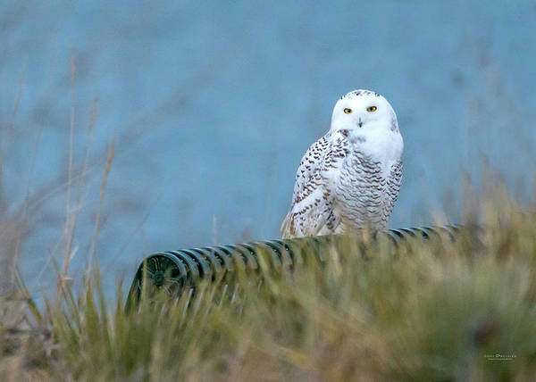 Snowy Owl On A Park Bench Poster