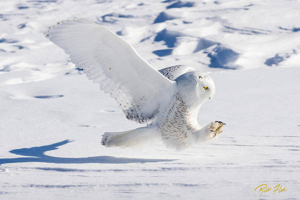 Snowy Owl Pouncing Poster