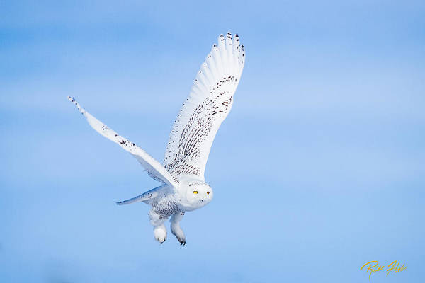Snowy Owls Soaring Poster